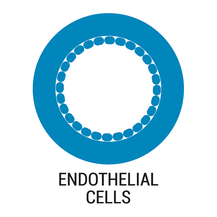 Culture endothelial cells under flow shear stress conditions