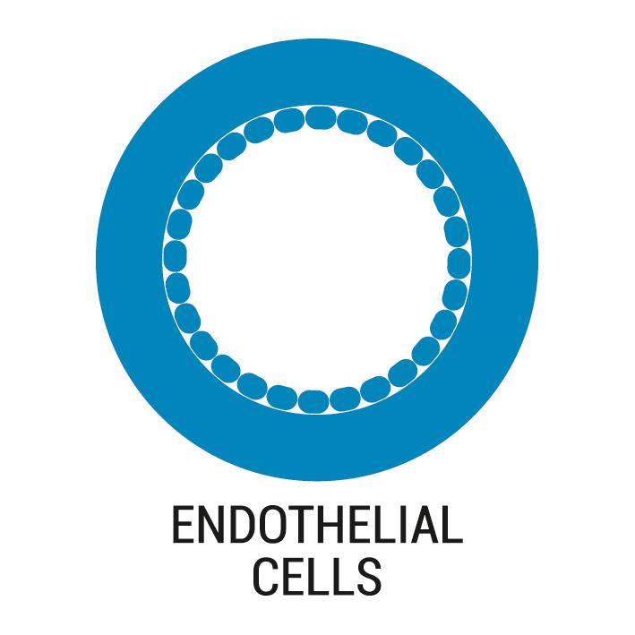 Culture endothelial cells under flow shear stress conditions