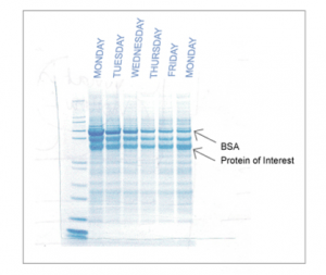 Gel showing purity of target recombinant protein