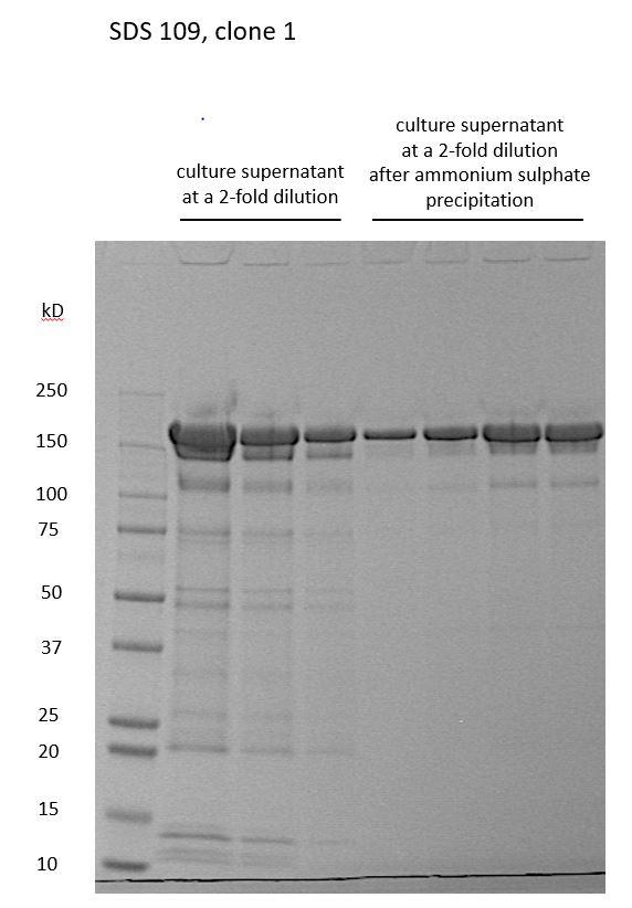 Monoclonal antibody - SDS gel - raw supernatant